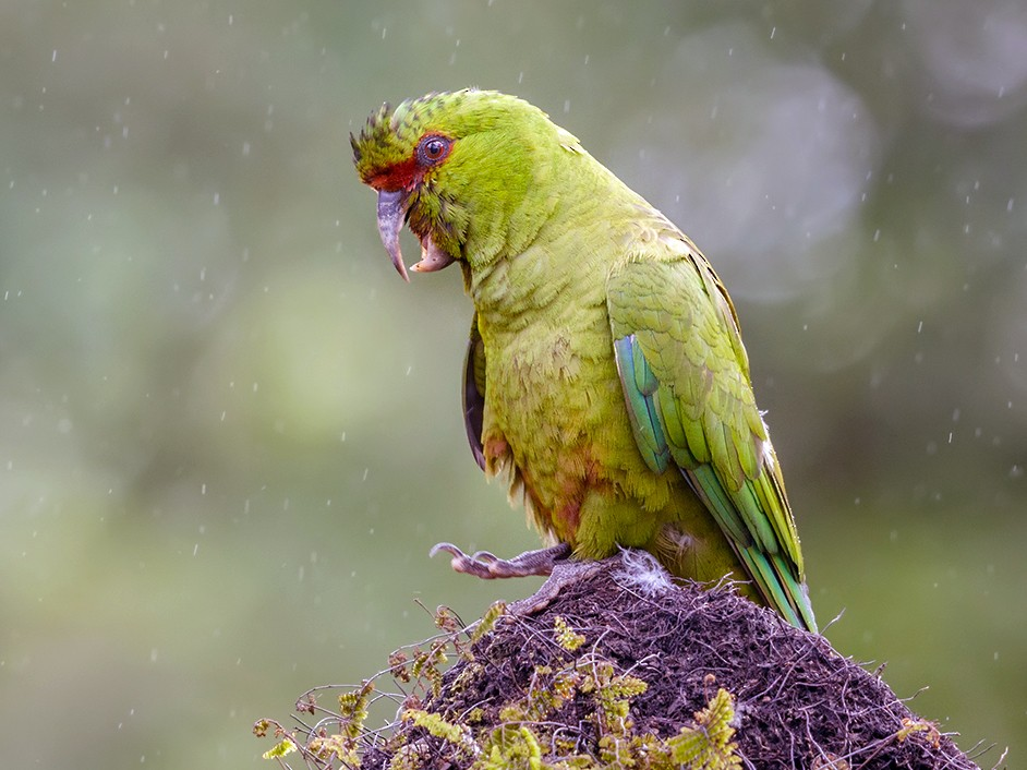 Slender-billed Parakeet - Pio Marshall