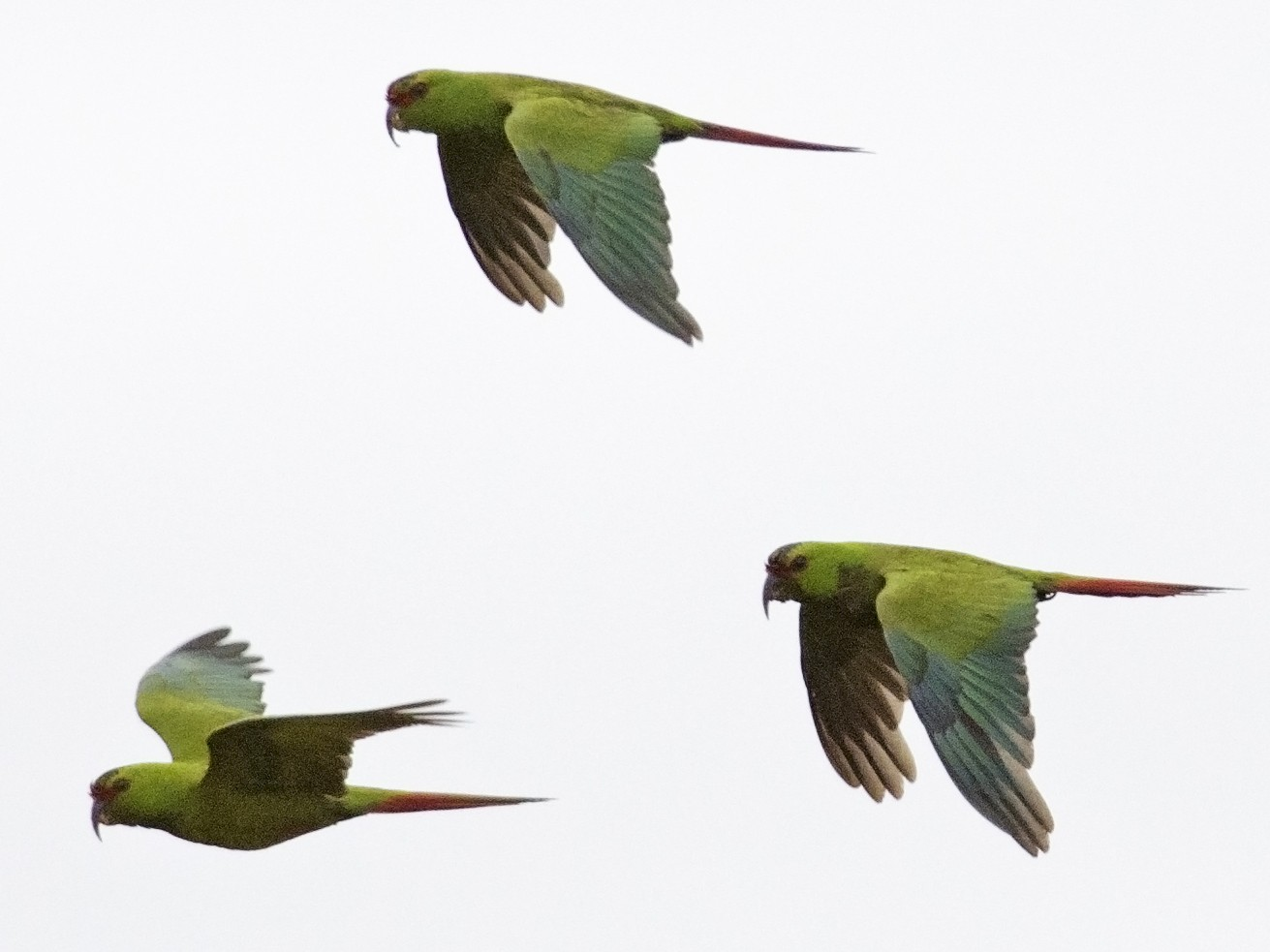 Slender-billed Parakeet - Joshua Vandermeulen