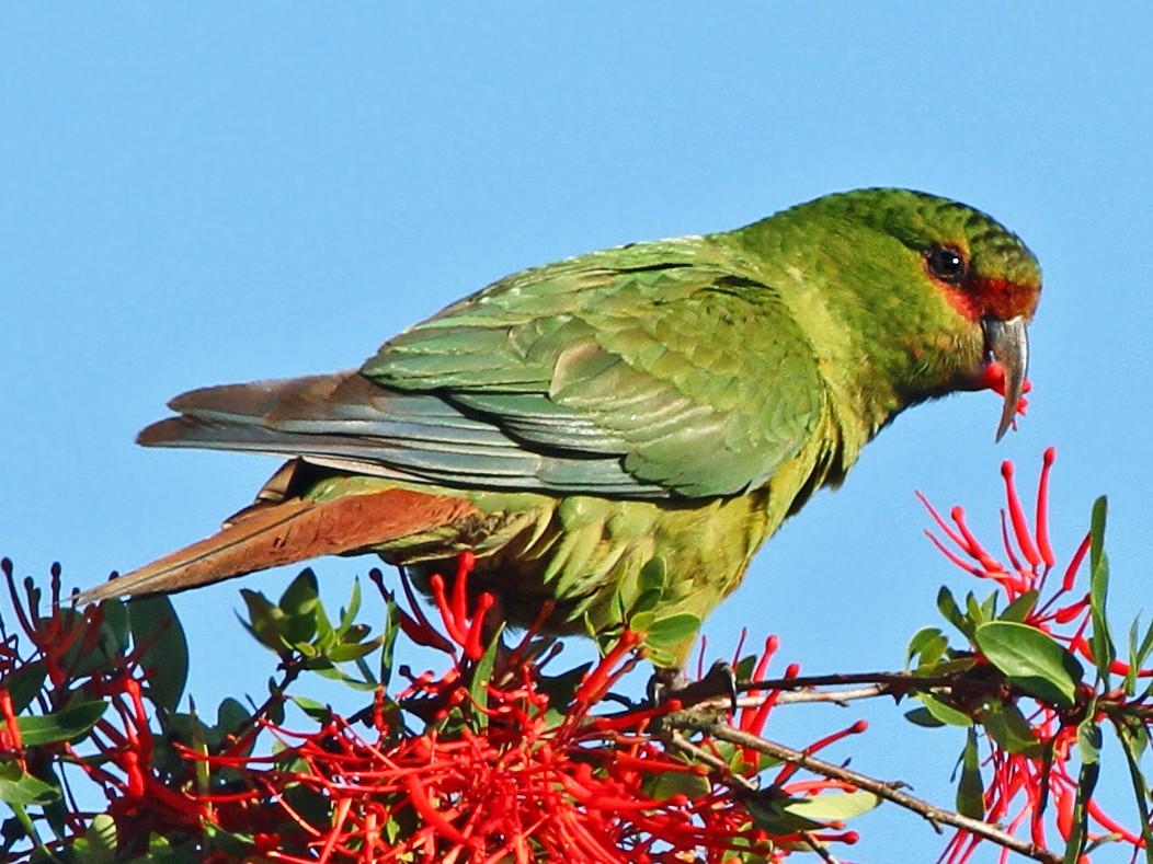 Slender-billed Parakeet - Andrew Spencer