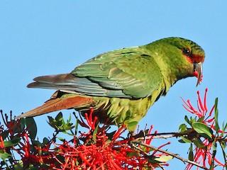 - Slender-billed Parakeet