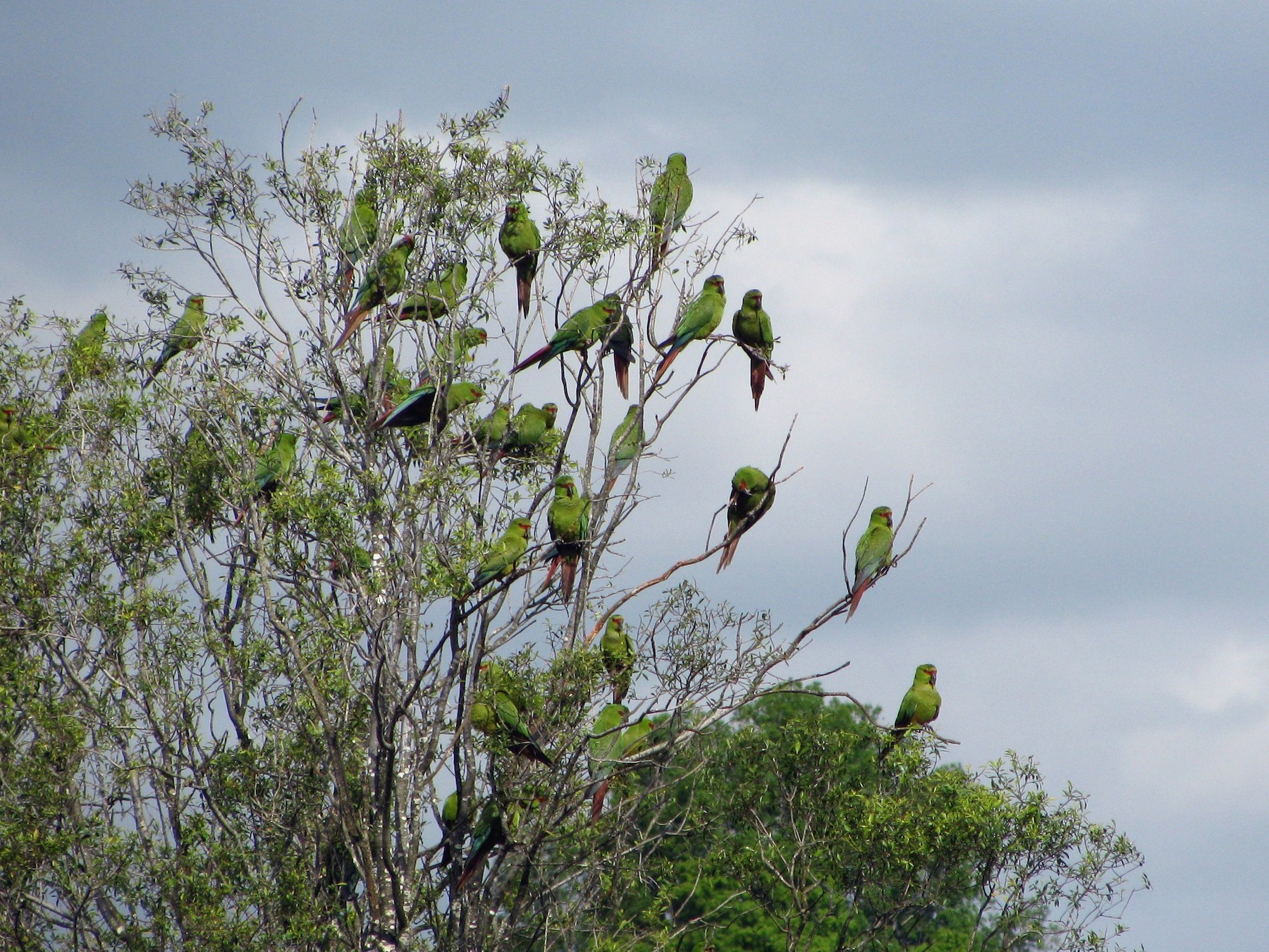 Slender-billed Parakeet - Shawn Billerman