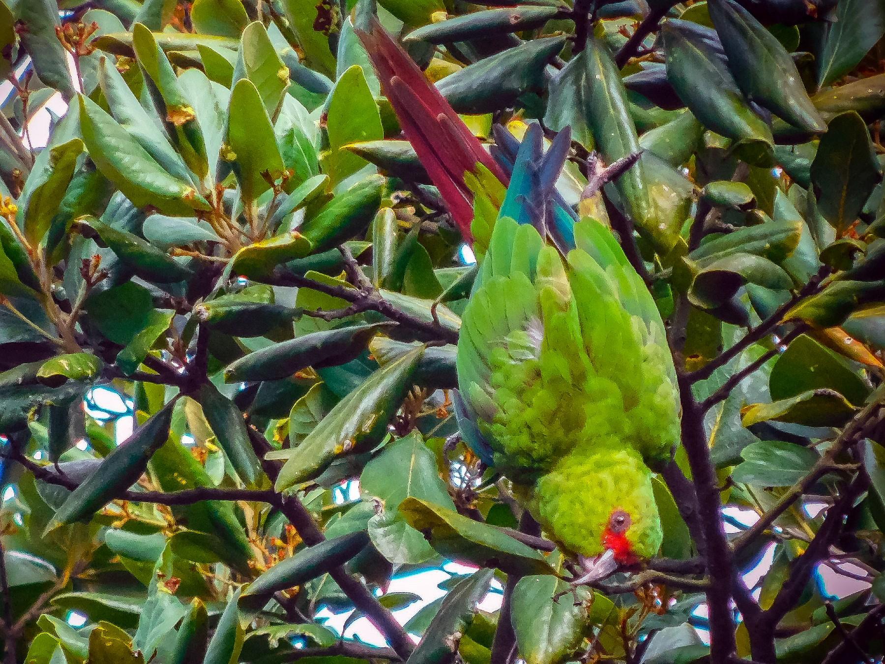 Slender-billed Parakeet - José Luis López