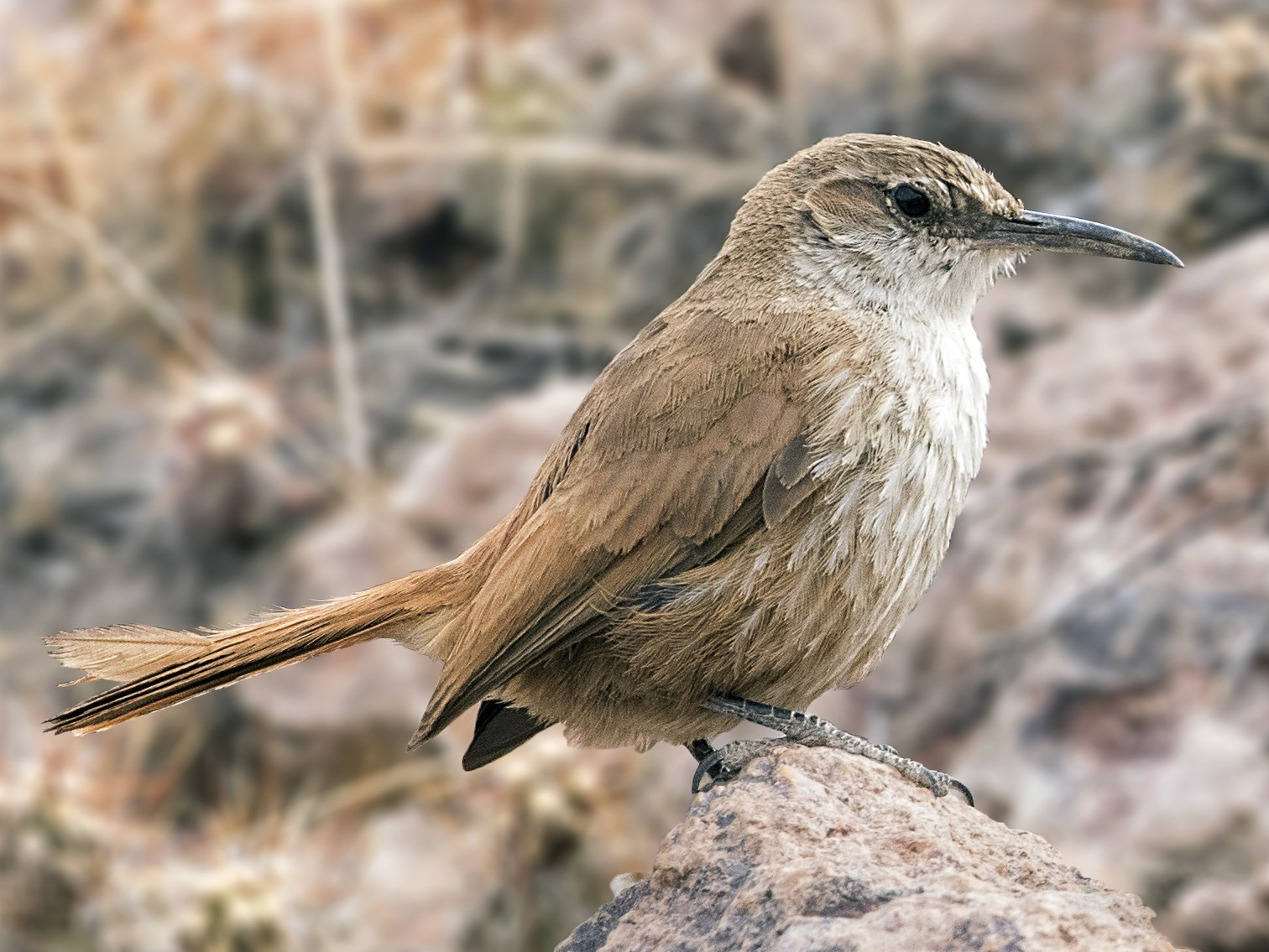 Straight-billed Earthcreeper - Pio Marshall