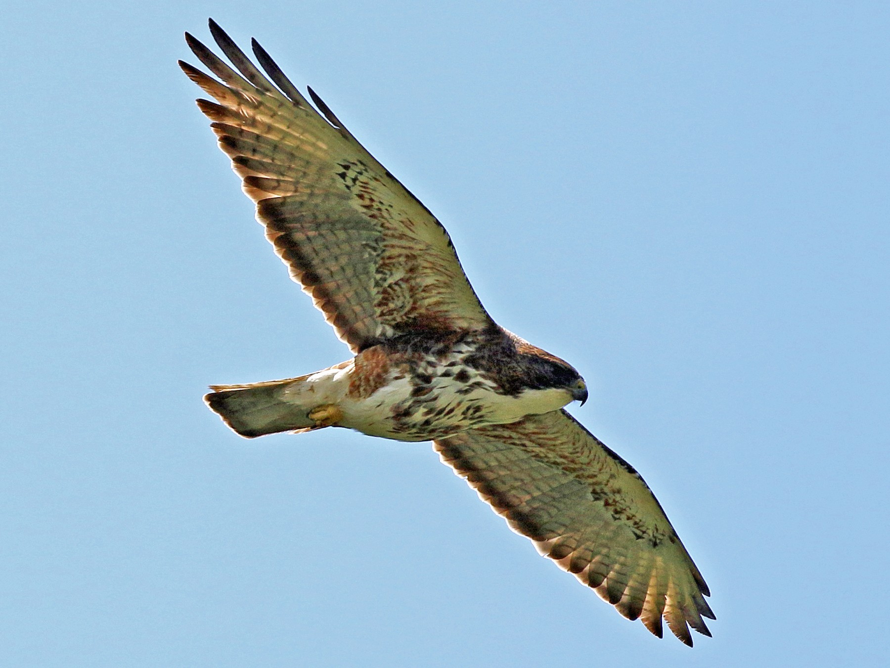 White-throated Hawk - Charlotte Byers