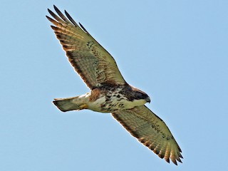 - White-throated Hawk