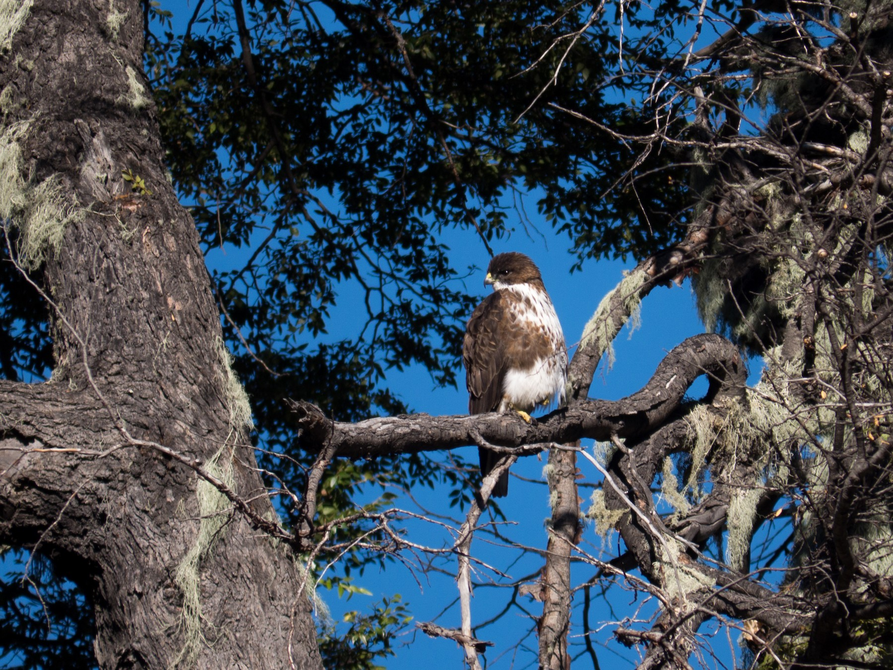 White-throated Hawk - Randall Siebert