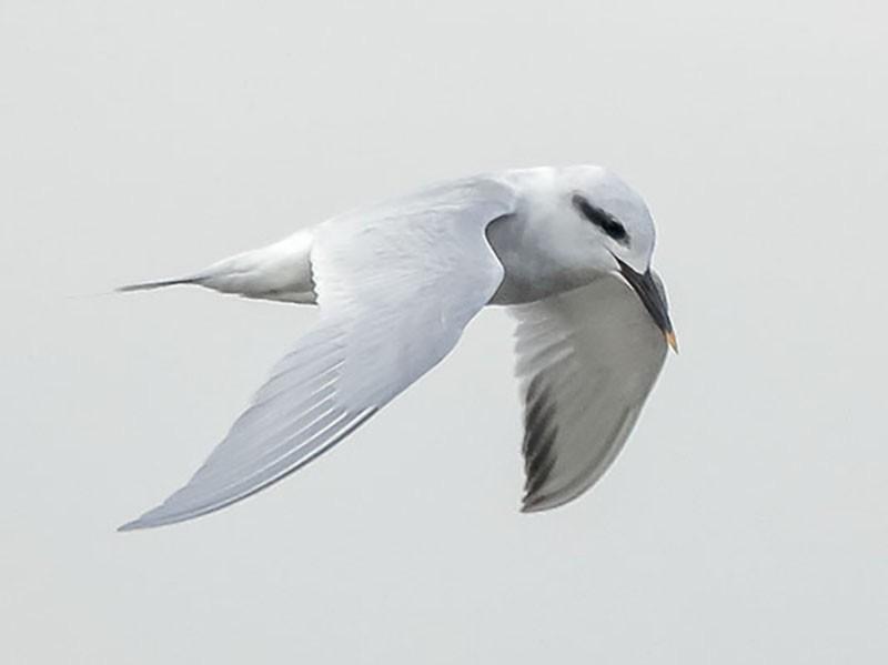 Snowy-crowned Tern - Gonzalo Labarrera