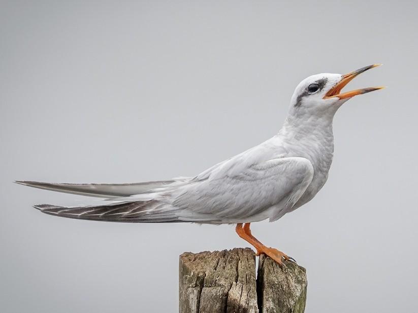 Snowy-crowned Tern - Pio Marshall