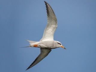 - Snowy-crowned Tern