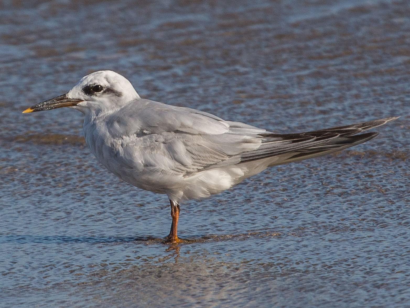 Snowy-crowned Tern - Fernando  Jacobs