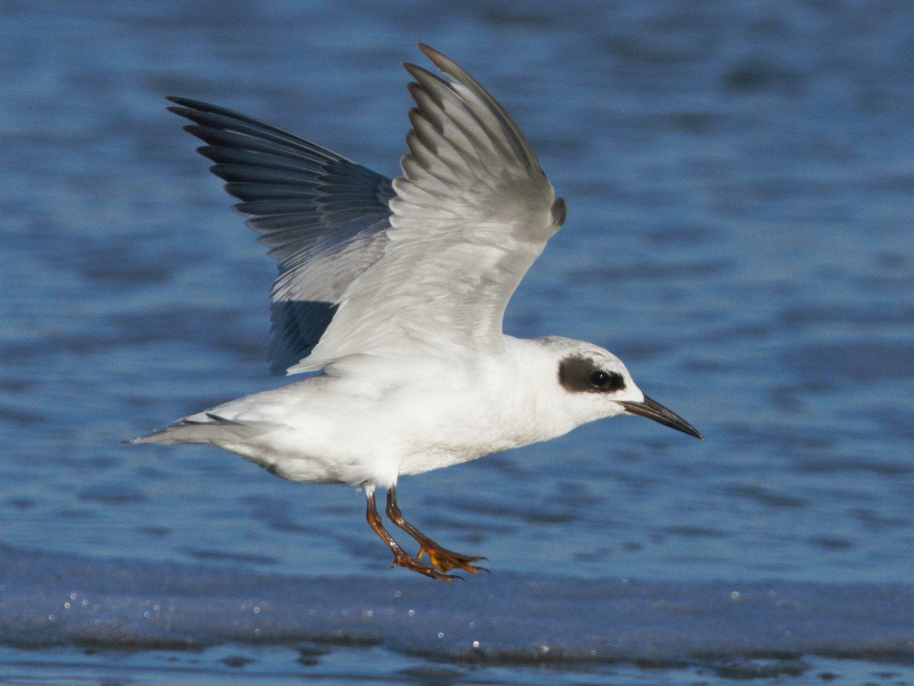 Snowy-crowned Tern - Christian Andretti