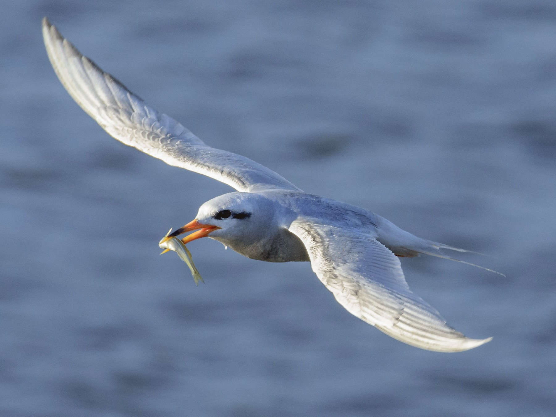 Snowy-crowned Tern - VERONICA ARAYA GARCIA