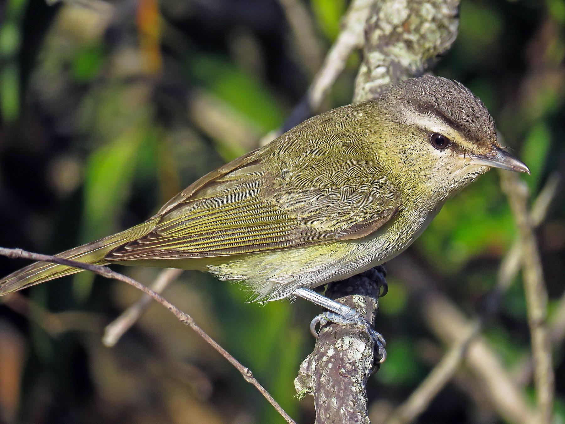 Chivi Vireo - Raphael Kurz -  Aves do Sul