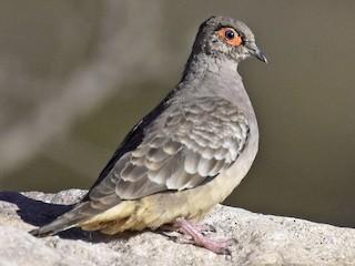 - Bare-faced Ground Dove