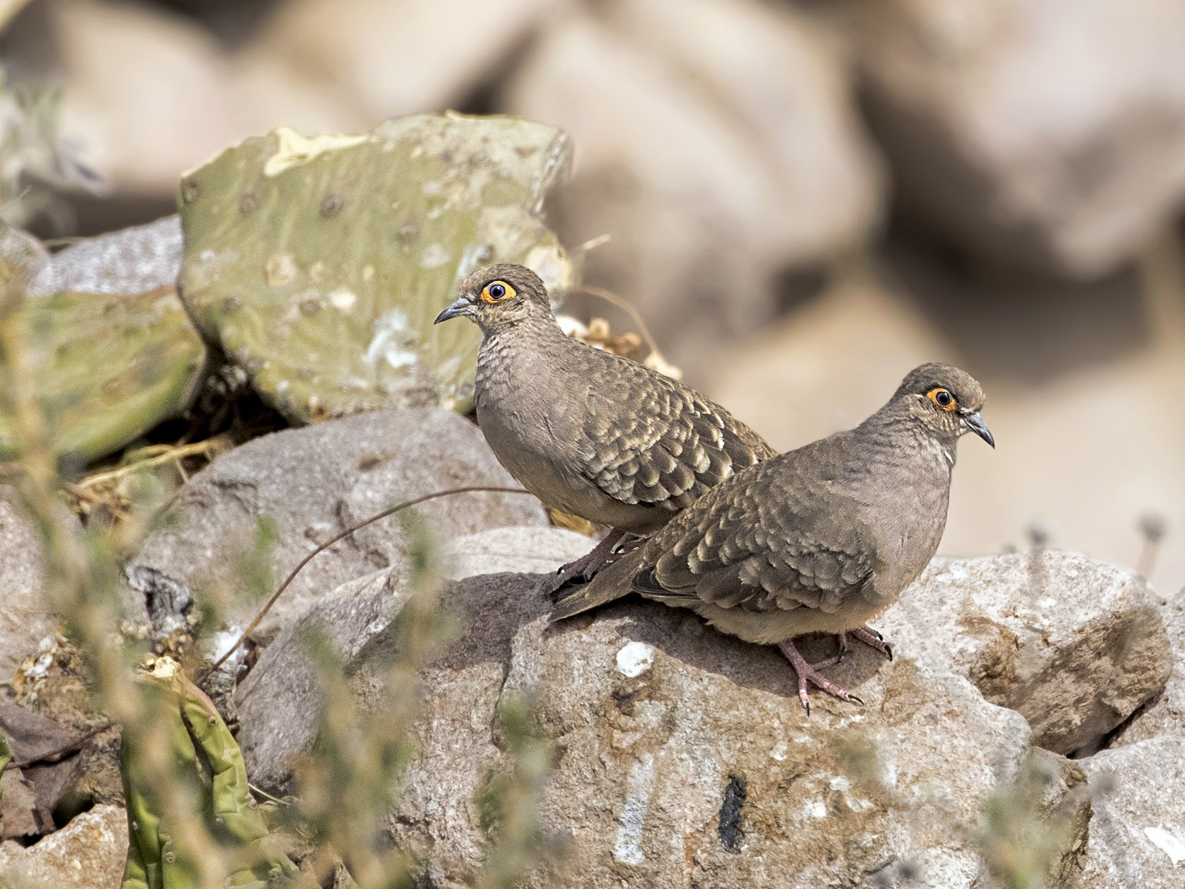 Bare-faced Ground Dove - Pio Marshall