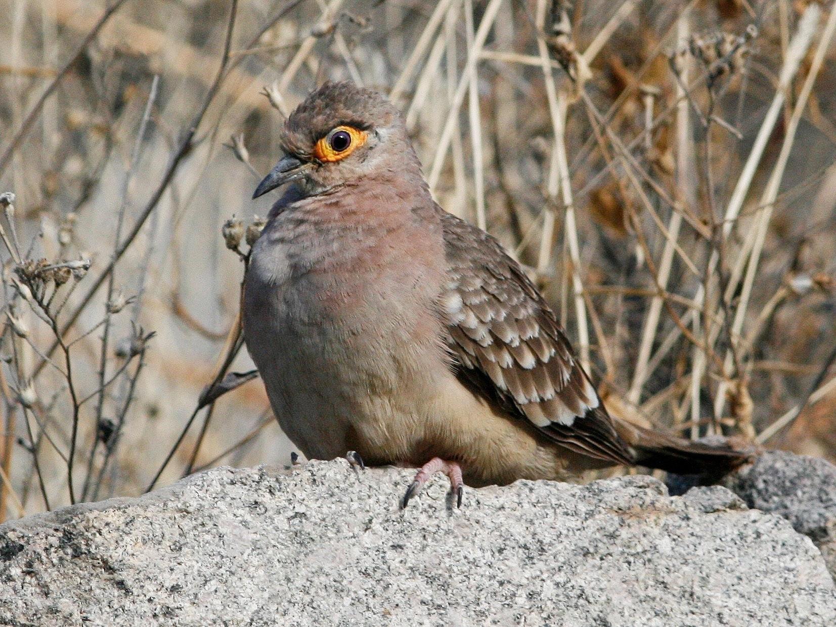 Bare-faced Ground Dove - Oscar Johnson