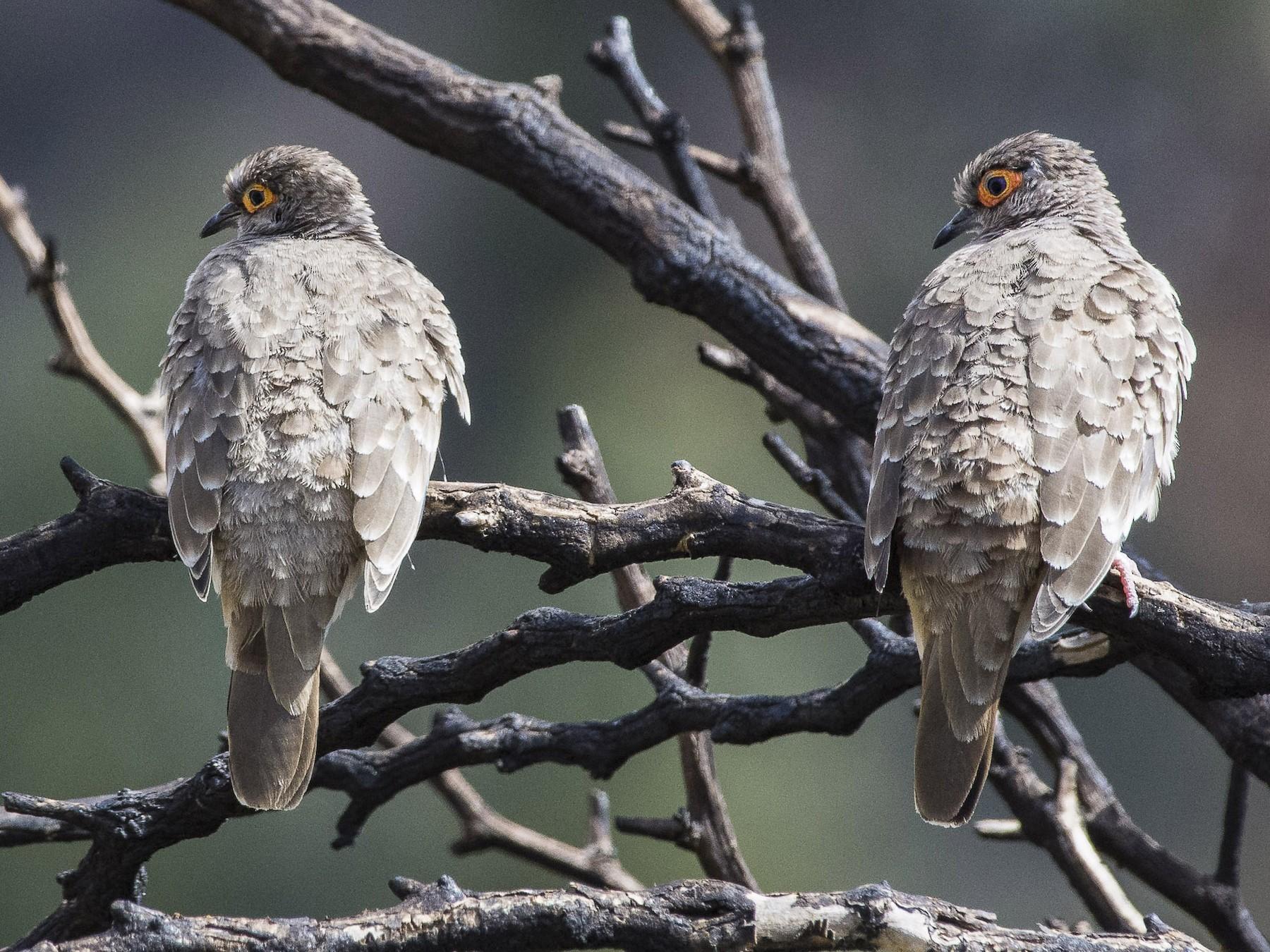 Bare-faced Ground Dove - VERONICA ARAYA GARCIA