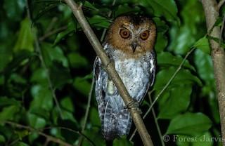 - Negros Scops-Owl