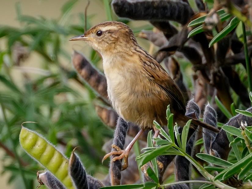 Wren-like Rushbird - Pio Marshall