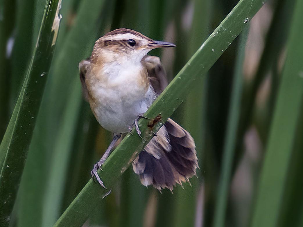 Wren-like Rushbird - Gerardo Serra