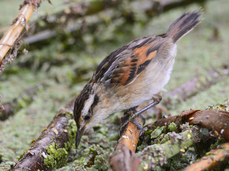 Wren-like Rushbird - Pablo Brandolin