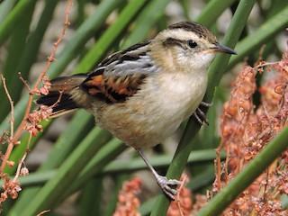 - Wren-like Rushbird