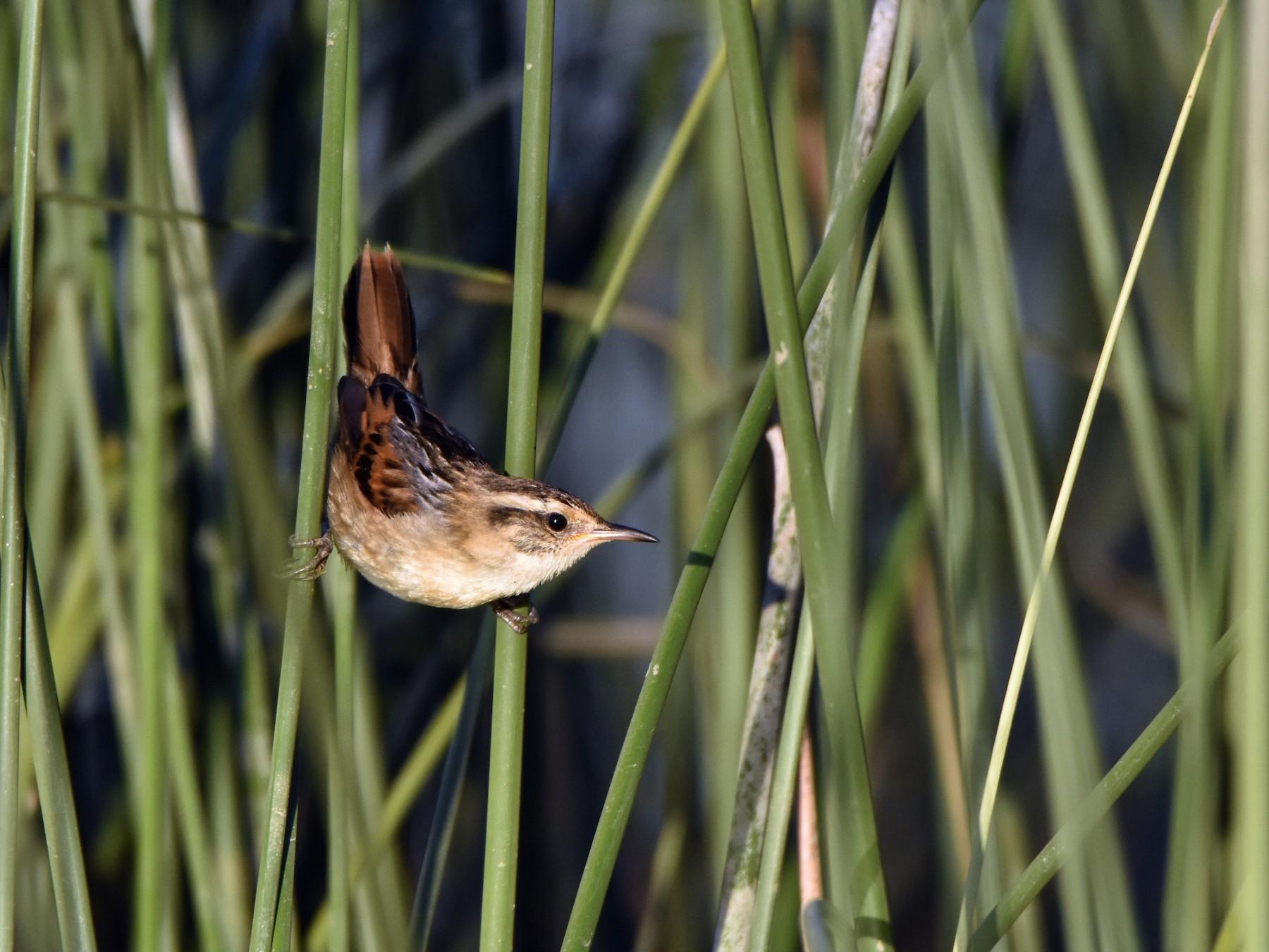 Wren-like Rushbird - Hederd Torres García