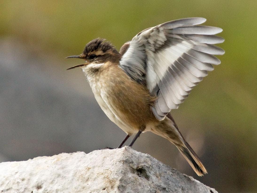 Cream-winged Cinclodes - David Robichaud