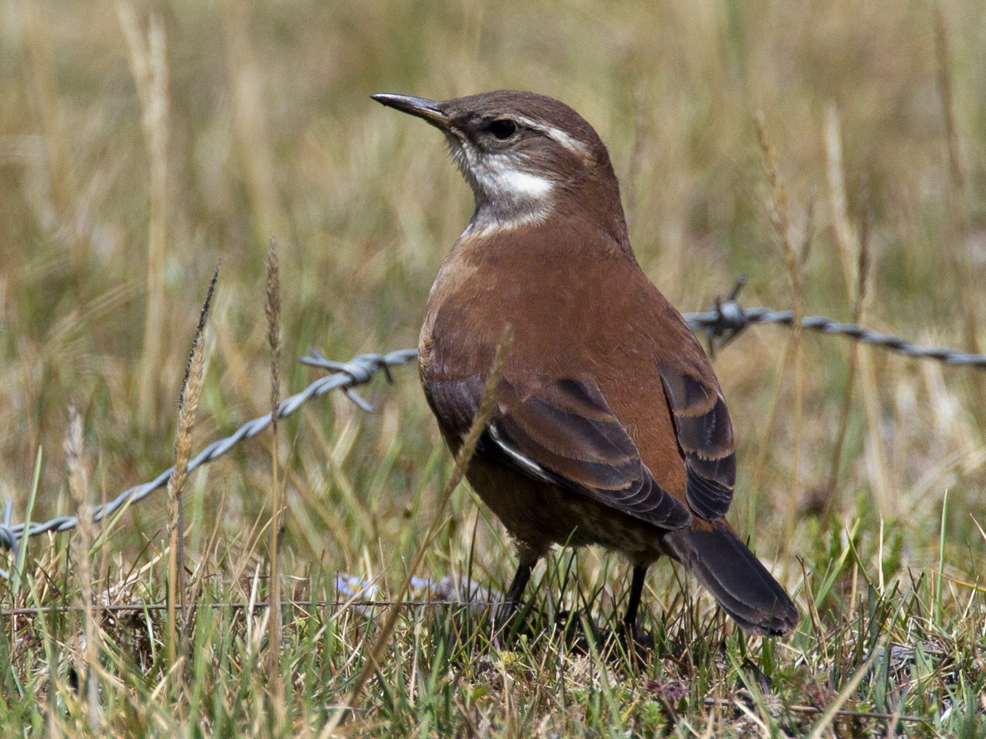 White-winged Cinclodes - Chris Wood