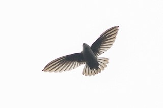 - Mountain Swiftlet