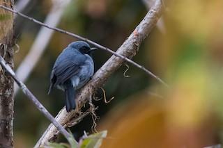 - Black-throated Robin