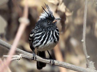 - Pied-crested Tit-Tyrant