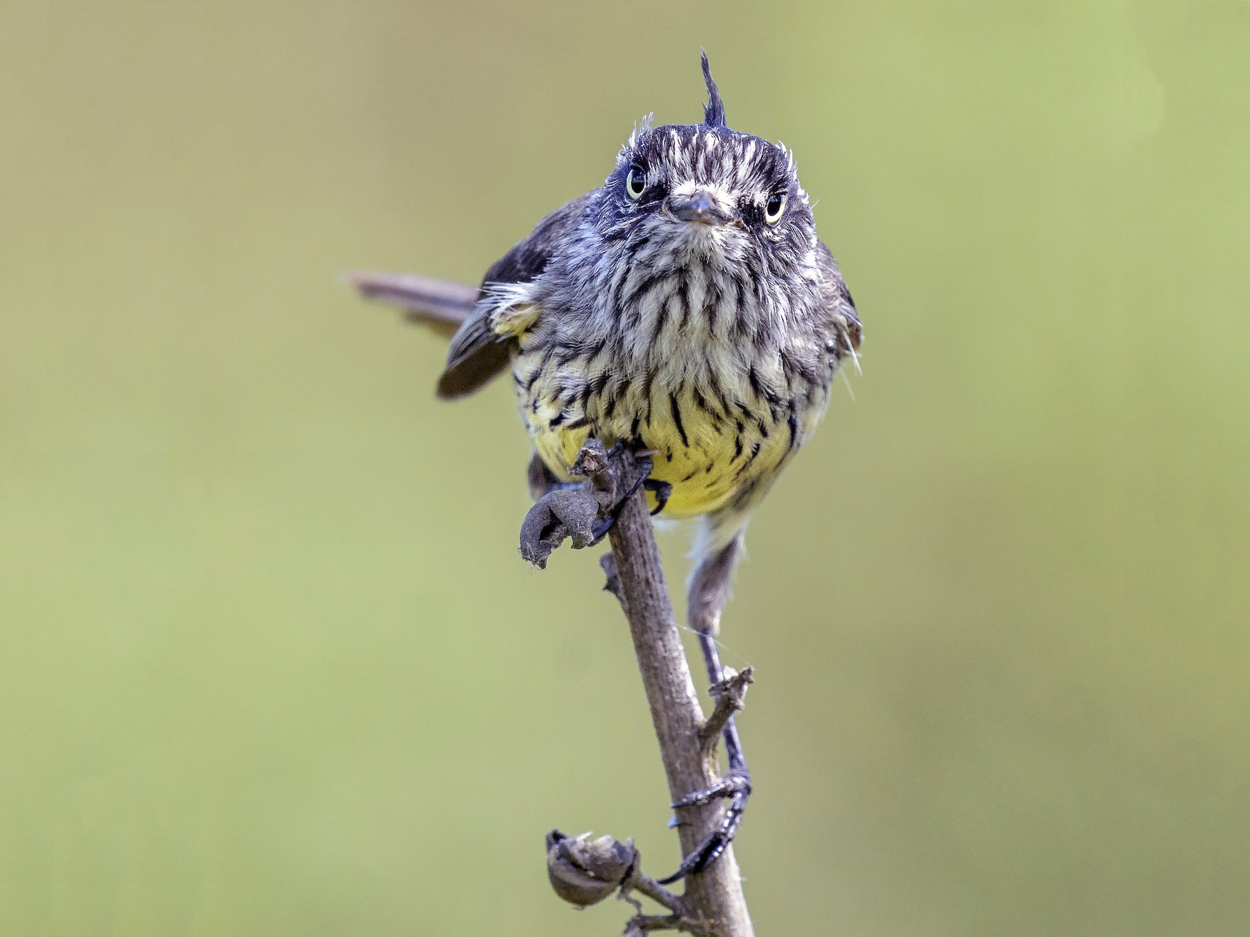 Tufted Tit-Tyrant - VERONICA ARAYA GARCIA