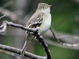 - White-crested Elaenia