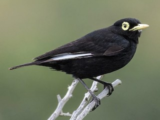 - Spectacled Tyrant