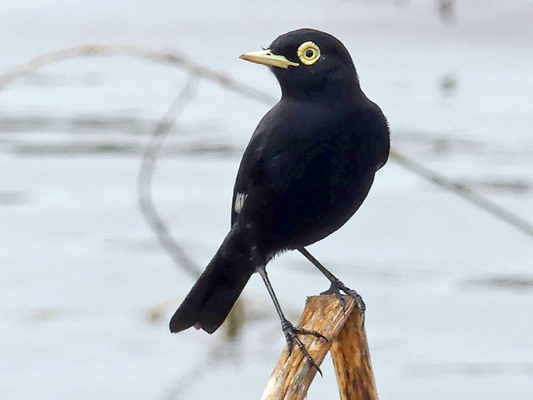 Spectacled Tyrant - Jorge  Quiroga