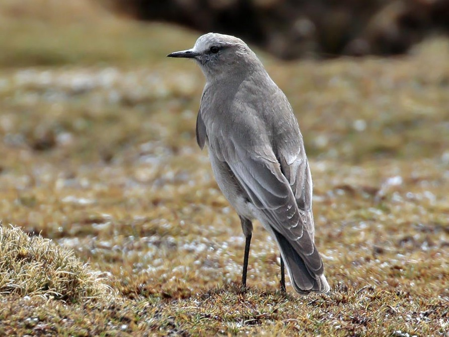 White-fronted Ground-Tyrant - Alec Earnshaw