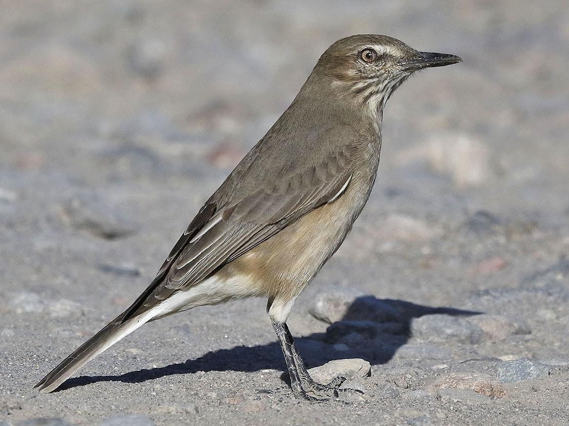 Black-billed Shrike-Tyrant - Pedro Eduardo Allasi Condo