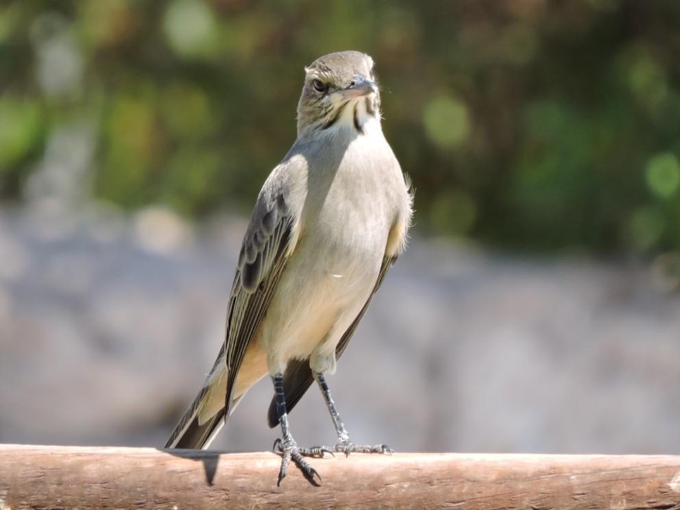Gray-bellied Shrike-Tyrant - Kristen Horton