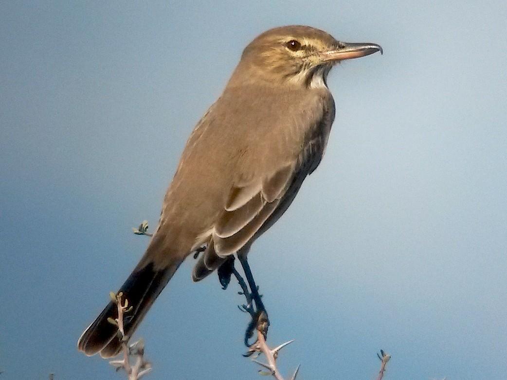 Gray-bellied Shrike-Tyrant - Juan Klavins
