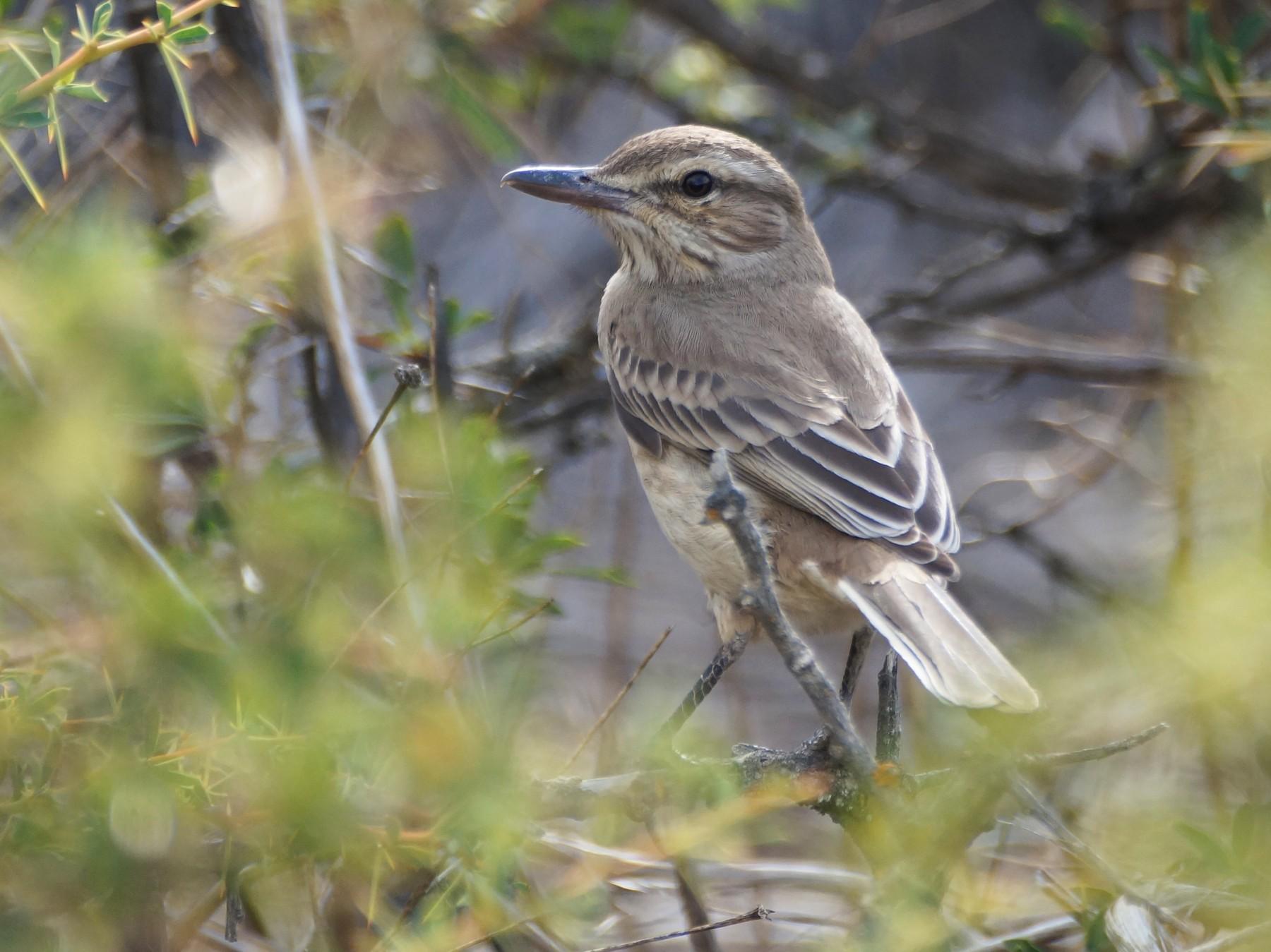 Gray-bellied Shrike-Tyrant - Eduardo Quintanilla