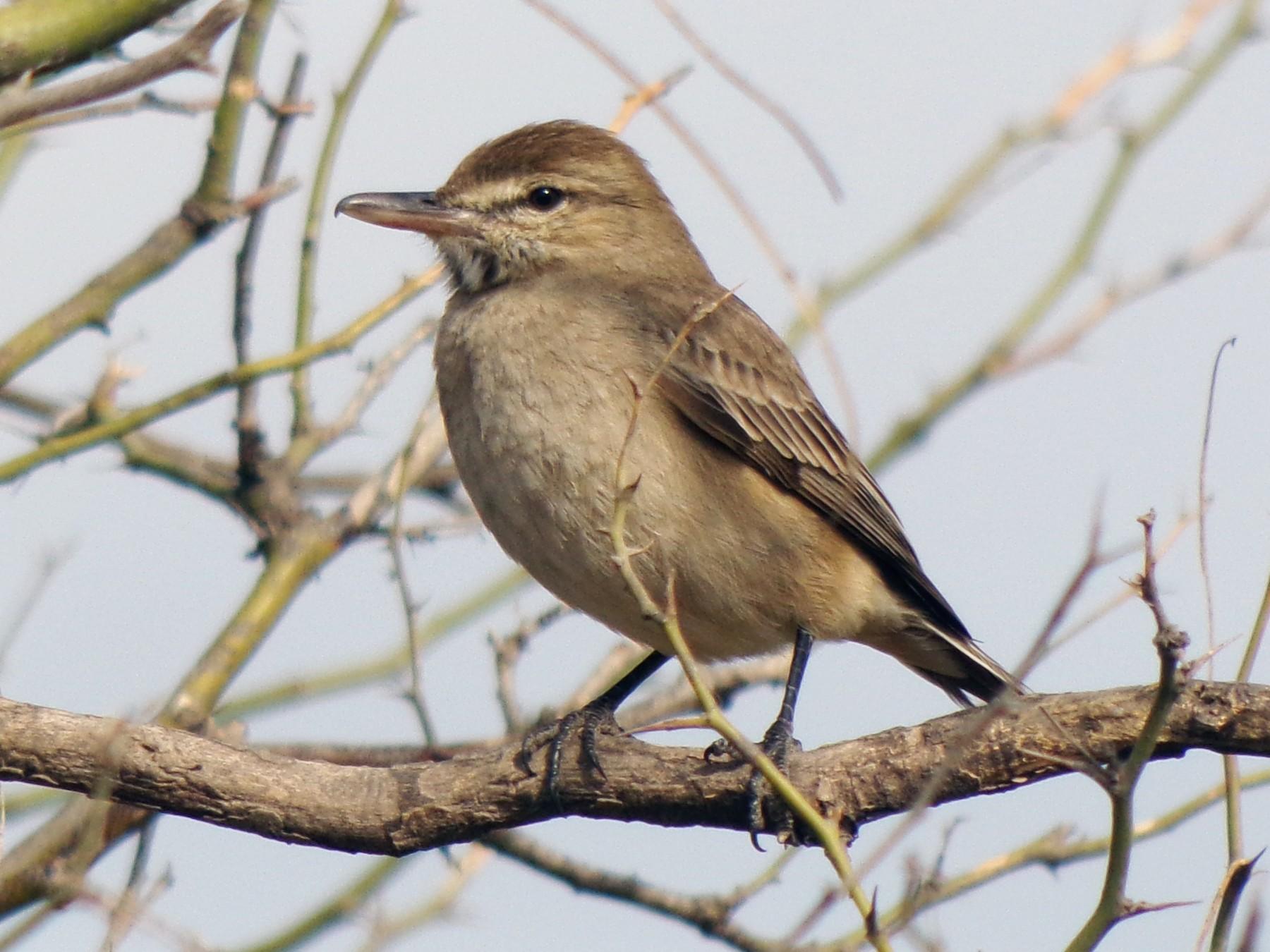 Gray-bellied Shrike-Tyrant - Martin  Juarez