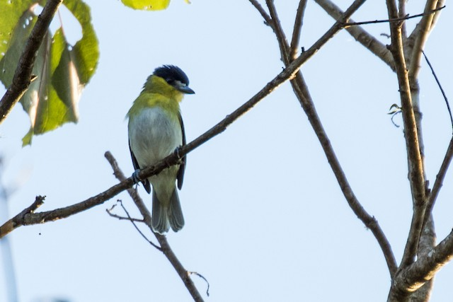 Green-backed Becard (Yellow-cheeked)