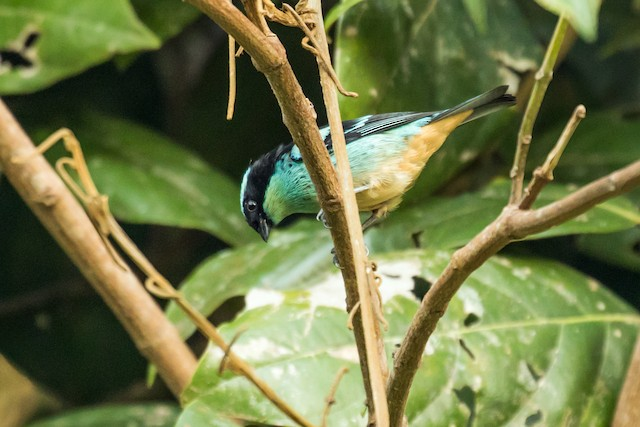 Blue-browed Tanager