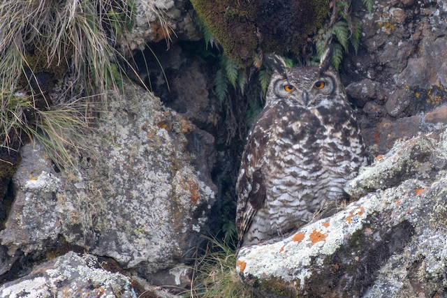 Cape Eagle-Owl (Northern)