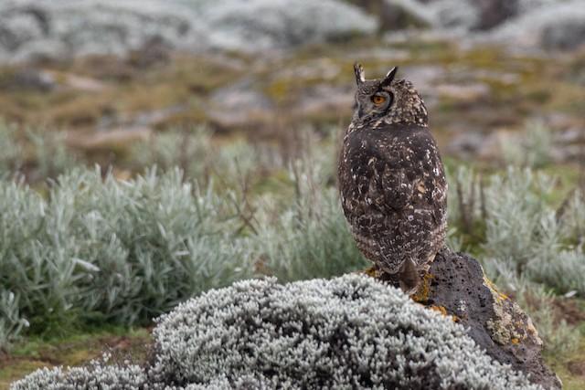 Cape Eagle-Owl (Northern)