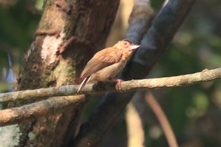 - Rusty-necked Piculet
