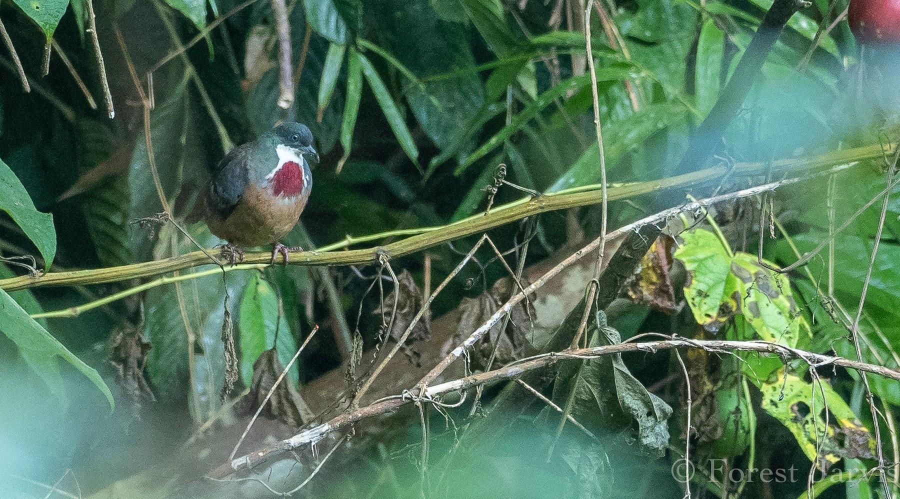 Mindanao Bleeding-heart - Forest Jarvis