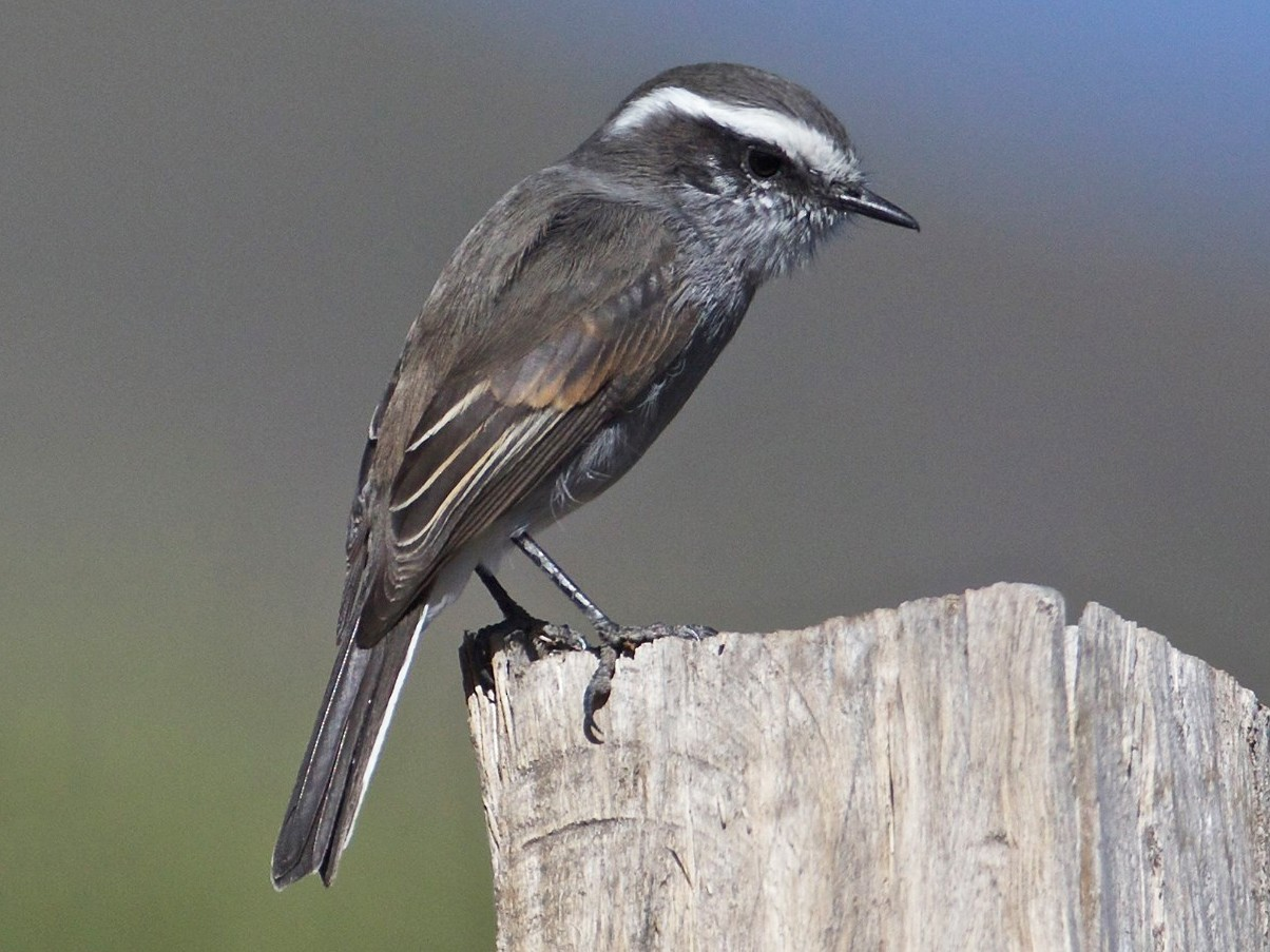 White-browed Chat-Tyrant - Eric Barnes