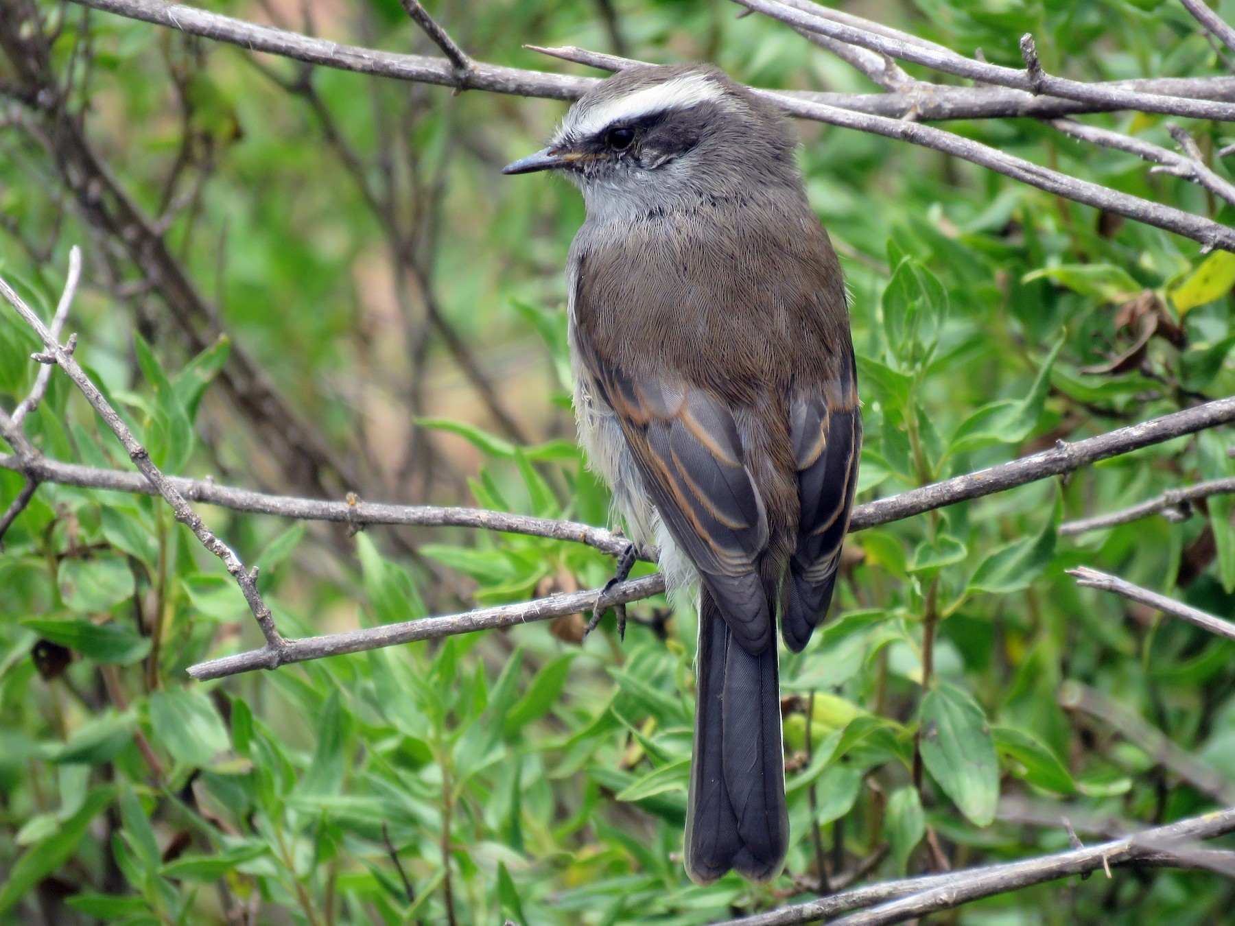 White-browed Chat-Tyrant - David  Samata Flores
